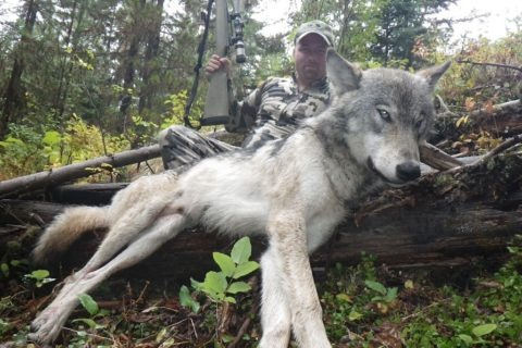 Best Montana Wolf Hunts